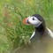 Puffin at dyrholaey