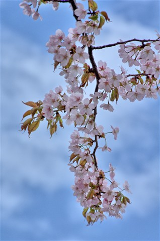 Blue-sky and Cherry Blossoms