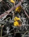 Acacia merinthophora with bee