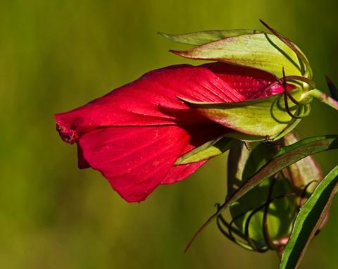 Wild Hibiscus Bud