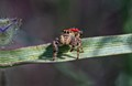 Jumping Spider_0399_Stack
