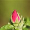 rosebud 1600