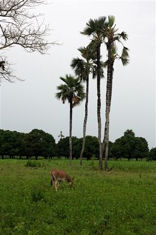 sugar palms