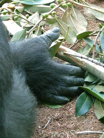 Gorilla Grace In Hand