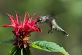 Ruby-throated Hummingbird sipping on a Bee Balm flower