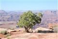 Pinon Pine on Mesa