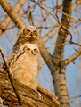 Two young great horned owl chicks