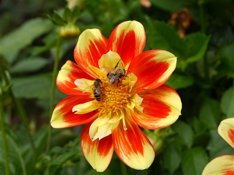 A dahlia (I'm told by the gardners) with guests.