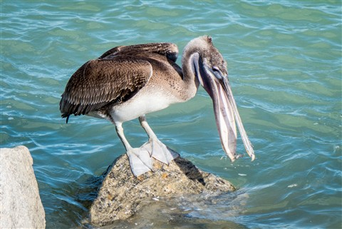 Pelican eating