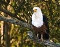 African Fish Eagle (St Lucia South Africa)