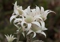 Flannel flower Australia NSW