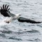 White-bellied Sea Eagle 02