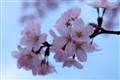 Cherry Blossom In Hokkaido.