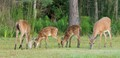 Does and Fawns feasting