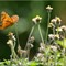 Butterflies_P6172058