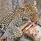 Leopard on an Impala Kill