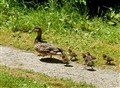 Running Mallard duck and ducklings