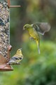 A Finch and Painted Bunting