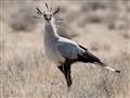 Secretary bird (in Etosha, Namibia)