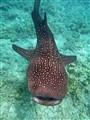 Whale Shark Ari Atoll Maldives