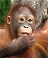 Cinta, baby orangutan