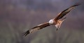 Red Kite fly-by