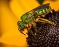 Metallic Green Pollinator