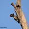 White-naped Woodpecker (কাঠঠোকরা)