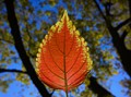One Orange leaf
