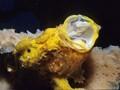 Frogfish Yawn