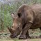 Rhino: a Rhino in the Hluhluwe Game Reserve South Africa. They are famous of having the most dens population of Rhinos in South Africa