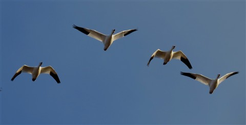 Snow Geese Flyover