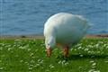 Grazing Goose
