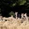 Sika Deer...the wild bunch.