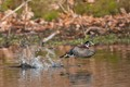 Wood duck take-off!