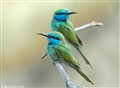 Green Bee Eater