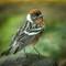bay breasted warbler: