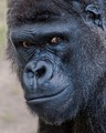 The Questioning Eyes of a Silverback