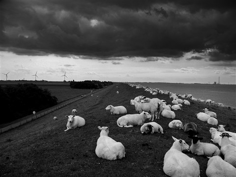 sheep_b&w