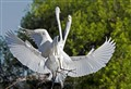 Egrets Fighting