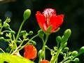 Flamboyant vermelho