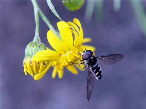Hoverfly in Yellow
