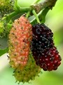 New Mulberries