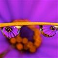 Purple Dazzle