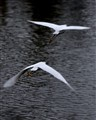 Egrets Taking Flight