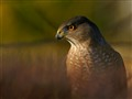 Cooper's Hawk In Bush