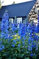 blue flowers of Akureyri