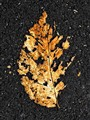 Leaf on the asphalt