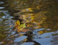 Autumn Floater