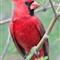 cardinal_4645